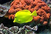 yellow fish